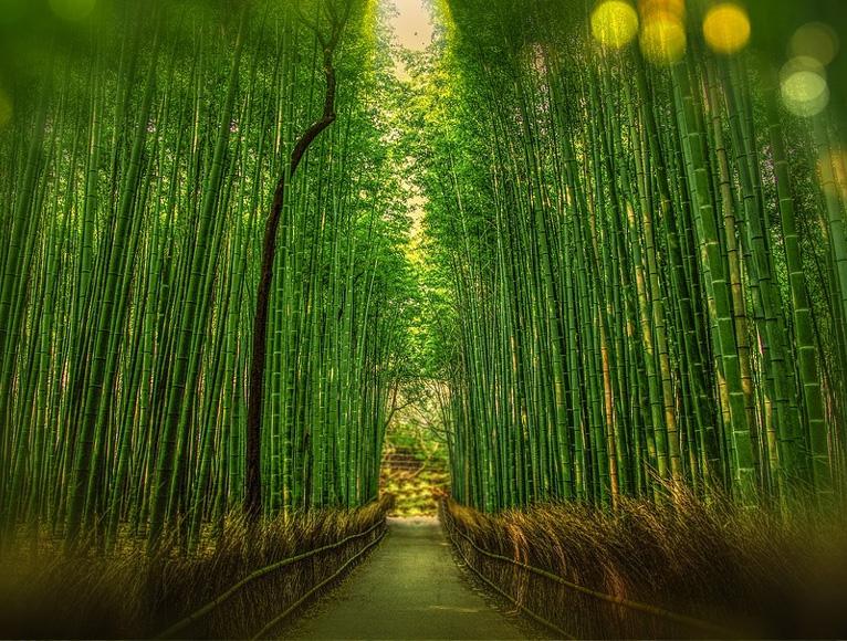 Bambú japones